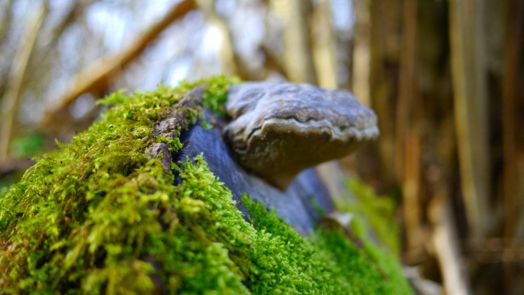 Bois du Planti - souche d'arbres e champignon (monstreux)